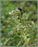 PZ020058 Mud Dauber Wasp on Oregano