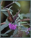 P8080151 Black Swallowtail Tiptoeing on Buddleia