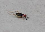 _MG_9082 Red Headed Bush Cricket - Phyllopalpus pulchellus