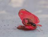 PZ220148 bush cricket in begonia blossom