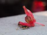PZ220142 fallen begonia blossom and cricket