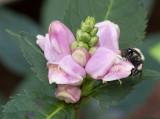 SIL60169 Carpenter Bee on Turtle Head Blossom