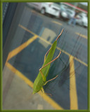 Katydid on the supermarket window