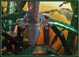 DSC00823 Gecko