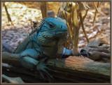 DSC00815 iguana