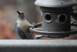 DSC01743 This is awkward - fill that suet cage, please!