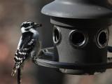 DSC01783 female downy woodpecker