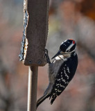 DSC01792 male downy woodpecker