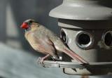 DSC02261 Female Cardinal