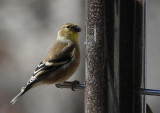DSC02346 American Goldfinch - Female in Winter Plumage