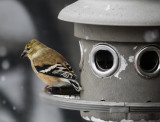 DSC03851_DxO Goldfinch