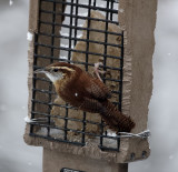 DSC03897_DxO denoised carolina wren.jpg