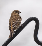 PZ090249 female house finch.jpg