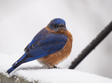 PZ090255 waiting bluebird.jpg