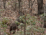 _MG_9094 Stag