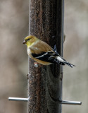 DSC04284_DxO Goldfinch