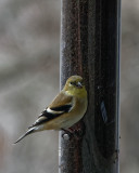 DSC04299_DxO goldfinch