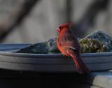 DSC04684 Cardinal