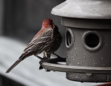 DSC06587 house  finch love