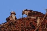 Ospreys at Seagate Beach, Naples, Florida