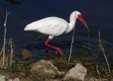 DSC07356 ibis