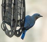 DSC08970 bluebird