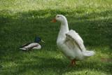 DSC01764 Ducks