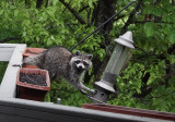 A Surprise Late Day Raccoon Visit