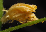 P6030040 katydid nymph lost flower home!