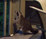Raccoon eying seed feeder