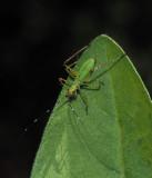 PZ180012 older katydid nymph with internal flash