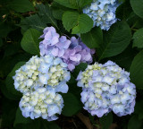 A Very Good Year for Hydrangeas