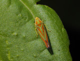 PZ220074 leaf hopper