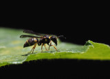 P6220160 Paper Wasp