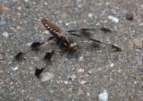 DSC02866 dragonfly