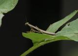 DSC02892 young mantis