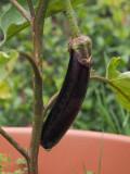 P7020012 first eggplant