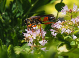 PZ090004 Great Golden Digger Wasp