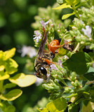 PZ090008 Great Golden Digger Wasp on Oregano
