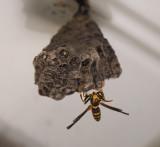 PZ100051 Paper Wasp Tending Nest