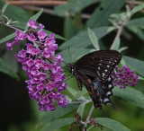 DSC03532 Black Swallowtail Butterfly