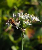 PZ070070 honey bee on chives.jpg