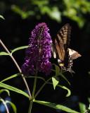 PZ070080 swallowtail on volunteer buddleia