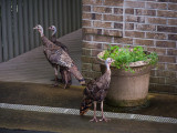 P8080249 three poults by garage pot.jpg