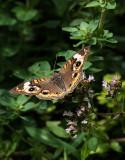 DSC04082 Common Buckeye Butterfly