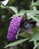 DSC04055 black swallowtail butterfly