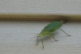 DSC04924 Adult katydid