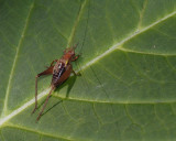 P9260003 hapithus agitator male - Restless Bush Cricket