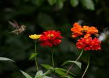 DSC05726 Hummingbird looking for nectar