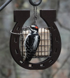 DSC07325 Male Hairy Woodpecker